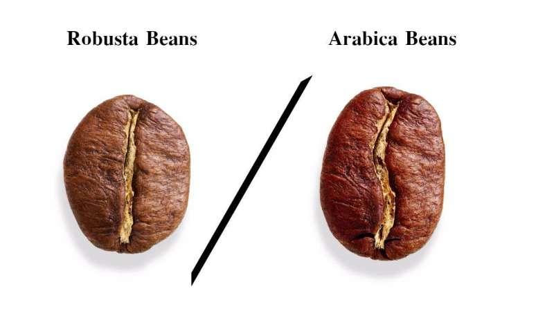 kopi_arabika_robusta_roasted_beans_green_beans_difference_arabica_and_robusta