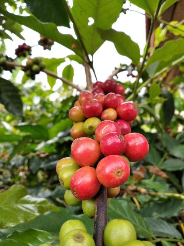 kopi_kopi_flores_coffee_flores_manggarai_tuang_bumi_cherries_natural_fullwashed_honey